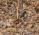 Unknown Spider Wasp
