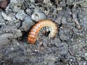millipede - Eurymerodesmus