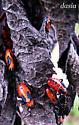 red and black beetles? - Oncopeltus fasciatus