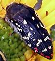 Acmaeodera rubronotata