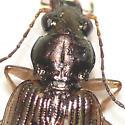 Ground beetle 10.06.11 (1) - Bembidion variegatum