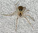 spider - Platnickina tincta