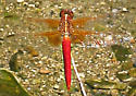 Neon Skimmer   - Libellula croceipennis - male