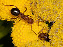 Ant #1 at Saskatoon - Formica dakotensis - female