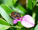 Megachillid Bee, Anthidiellum perplexum? - Anthidiellum perplexum