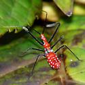 Milkweed Assassin Bug - Zelus longipes