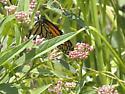 Monarch or Viceroy? - Danaus plexippus