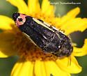 Buprestid - Acmaeodera flavomarginata - male - female