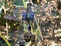 Black Saddlebags Pair - Tramea lacerata - male - female