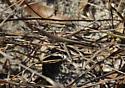 brown grasshopper - Achurum carinatum