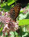 Speyeria aphrodite  - Speyeria atlantis - male