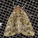 Moth - Anaplectoides prasina
