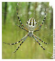 Large orbweaver - Argiope florida - female