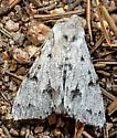 Salt & Pepper Moth - Acronicta vulpina