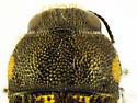 Acmaeodera bowditchi - male