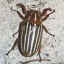 Tenlined June Beetle - Polyphylla decemlineata - male
