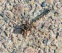 dragonfly - Gomphaeschna