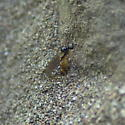 Fly ovipositing in antlion cone - Brachystoma - female
