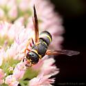 Black and Yellow Wasp - Euodynerus hidalgo
