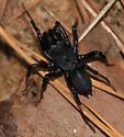 Purseweb Male - Sphodros atlanticus - male