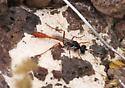 Wasp - Ammophila