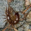 Stone Centipede - Neolithobius