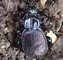 Beetle - Sphaeroderus stenostomus