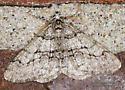 Digrammia gnophosaria ? - Phigalia titea - male