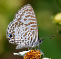 What is this - Leptotes cassius