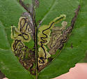 Common Buckthron miner - Stigmella rhamnicola