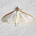 Four-spotted Palpita Moth - Palpita quadristigmalis