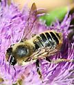 Leaf-cutter Bees Megachile latimanus - Broad-handed Leaf-cutter Bee - Megachile latimanus
