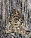 Shed wall moth