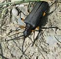 beetle 2 - Stenocorus schaumii