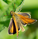 Skipper Butterfly Type? - Thymelicus lineola