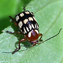 Possible Case-bearing Leaf Beetle (Cryptocephalus)  - Bassareus