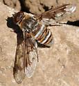 Exoprosopa doris