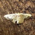 Idaea Species - Idaea kendallaria - male