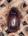 Coleoptera  - Helocombus bifidus