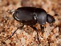 Dung Beetle - Canthon melanus