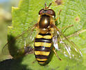 Which Syrphid Fly? - Eupeodes