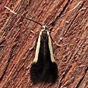 Coleophora sp.  - Coleophora