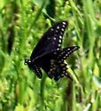 Papilio polyxenes - female