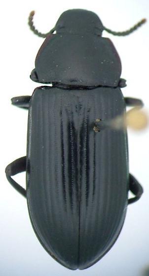 Neatus tenebrioides