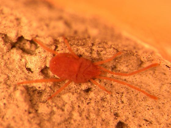 Smarididae Clypeosoma- Erythraeoidea - Clypeosoma - female