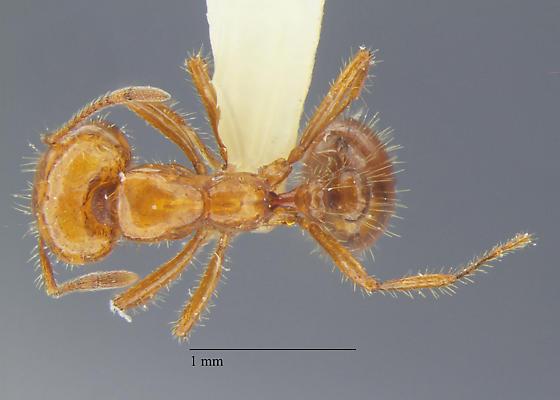 Solenopsis major work - Solenopsis