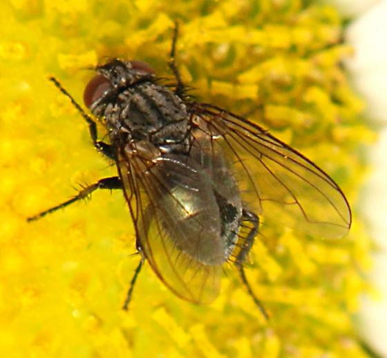 Fly - ? Tachnid ? - female