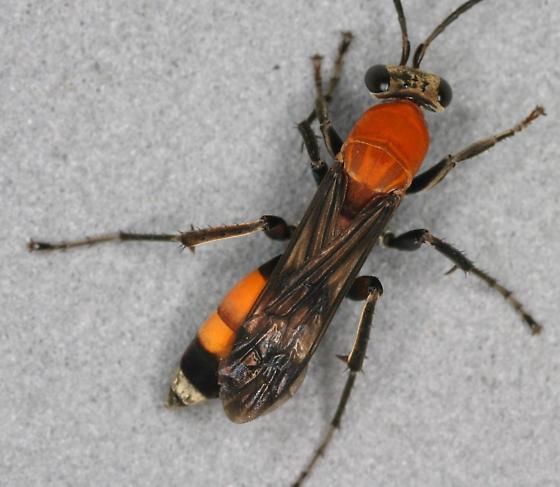 Psorthaspis mariae - female