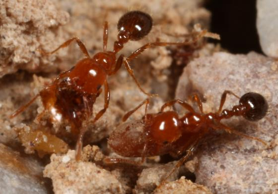 unknown ant - Solenopsis xyloni