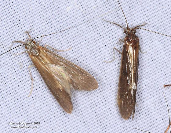 Hydropsychidae ? - male - female